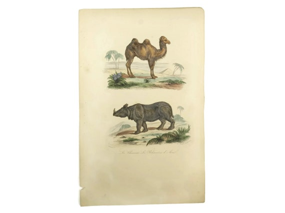 Antique French Camel & Rhino Art Print, Natural History Engraving, Animal Illustrations, Safari Decor and Gifts