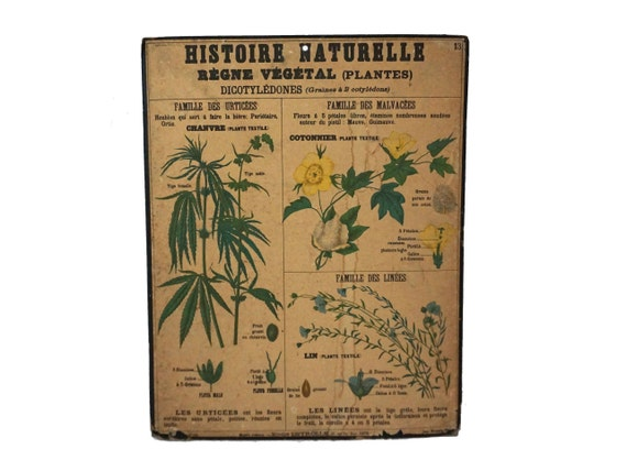Antique Deyrolle Hemp Botanical Study Poster, Natural History French School Wall Chart Number 13