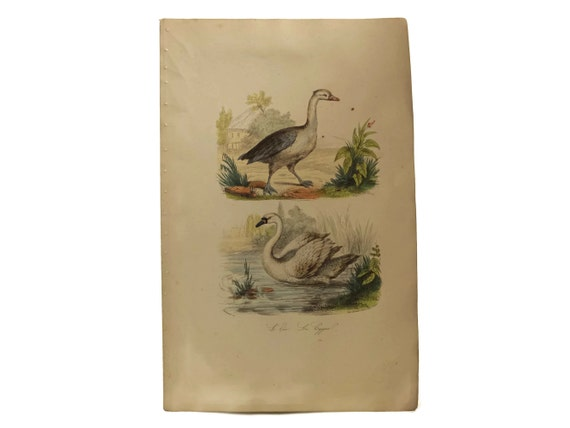 Antique French Swan and Goose Art Print, Natural History Engraving, Animal Illustrations, Bird Decor & Gifts