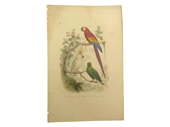 Parrot, Macaw & Cockatoo Art Print. Antique French Engraving. Natural History Animal Illustrations. Bird Lover Decor and Gifts.