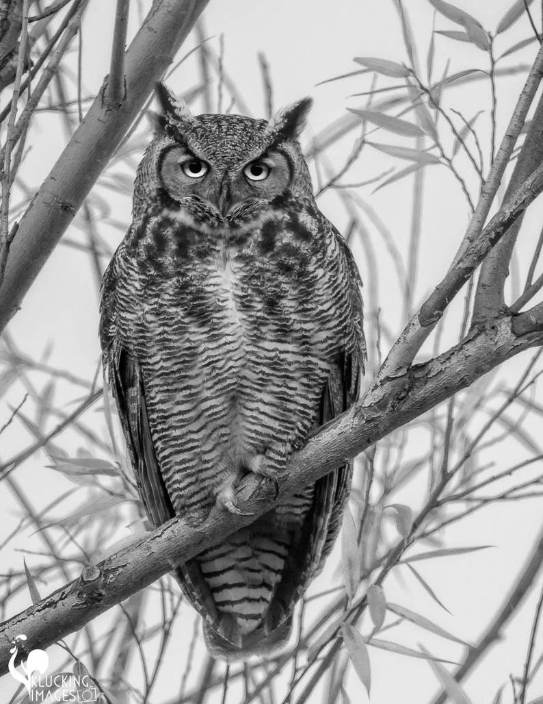 Black and white owl great horned owl in bw