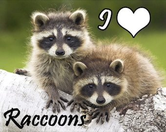 I Love Raccoons Fridge Magnet 7cm by 4.5cm