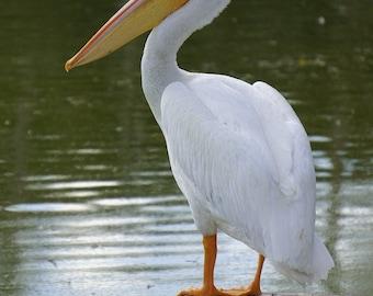 Lonely Pelican Photographic Print
