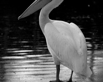 Pelican In Black Photographic Print