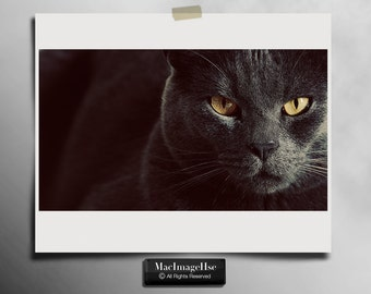 Russian Blue cat print, Cat photography