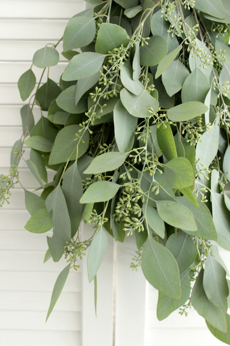Fresh Seeded Eucalyptus Bunch 5-7 stem for wedding home image 0