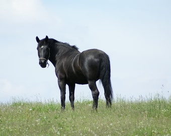 THE DUDE - black horse print equine photography of horse in pasture on the farm in field of dandelions horse home decor equine wall art