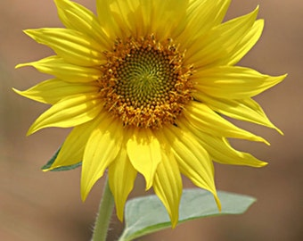 ID3995 1  8x10 Flower Photograph Print  of a Sunflowers