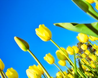 Tulip, Dutch, Holland, blue, yellow floral, flower, blossom,nature, background, plant, spring, summer, petal, bloom, leaf, isolated, flora,