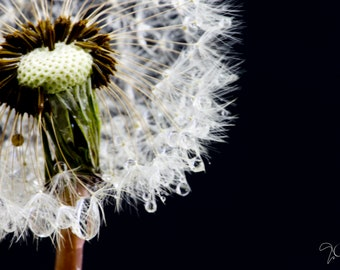 Art,Photography,Macro Print of Dandelion, white green, Delicate Its seeds are like little parachutes that fly away with the wind art by Evie
