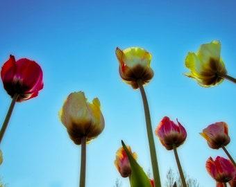 Tulip, Dutch, Holland, blue, red  floral, flower, blossom,nature, background, plant, spring, summer, petal, bloom, leaf, isolated, flora,
