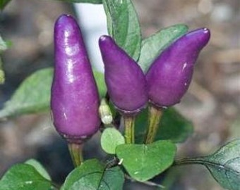 VPPH) PURPLE TIGER Chili Pepper~Seeds!!!!~~~~~Superior Variety!