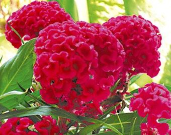 Fleur-Pensée-padparadja 30 graines