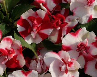 18c5464c81f8f AIZDA) ATHENA RED Flash Double Impatiens-Seeds!~~~~Candy Cane Colors!