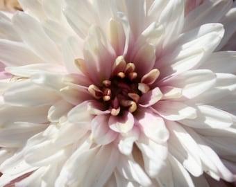 PBCHR) WHITE/LAVENDER Chrysanthemum~Seed!!~~~~~~~Starts out White, Turns Lavender!!