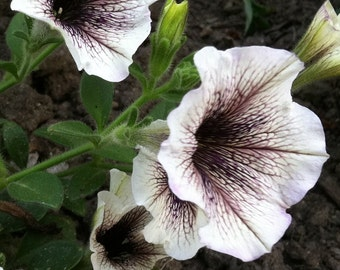 APE) WHITE RUSSIAN Petunia Seeds!~~~~~~~~~~~~Stunning Chocolate Veining!