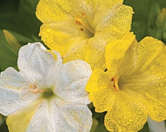 PB4M) MARBLES YELLOW/WHITE 4 O'Clock~Seeds!!!~~~~~Soft & Buttery!!!