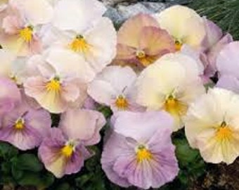 APA) INSPIRE PEACH Shades Pansy~Seed!~~~~~~~~Great!