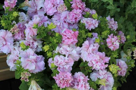 50 Double Cascade Orchid Mist Pelleted Petunia Seeds