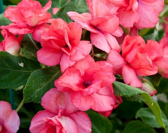 AIZDA) ATHENA CORAL Pink Double Impatiens-Seeds!~~~~Astonishing Double!