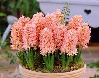 PBHY) GYPSY QUEEN Hyacinth~Seeds!!~~~~~Massive, Flowers!!