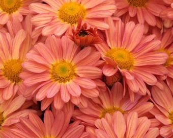 PBCHR) PEACH CHRYSANTHEMUM~Seed!!~~~~~~~A Wonderful Autumn Beauty!