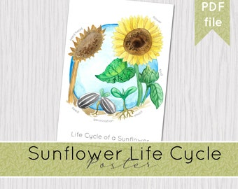Sunflower Lifecycle Printable Poster