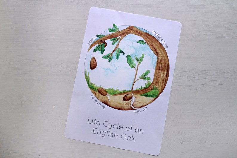 Lifecycle of an Oak Tree Printable Poster  Life Cycle Nature image 0