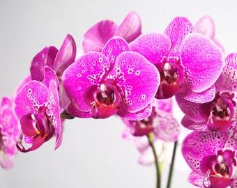 Instant Digital Download Pink Spotted Phalaenopsis