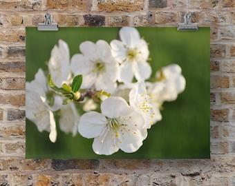 Michigan Apple Blossoms Photo, Spring Wall Art