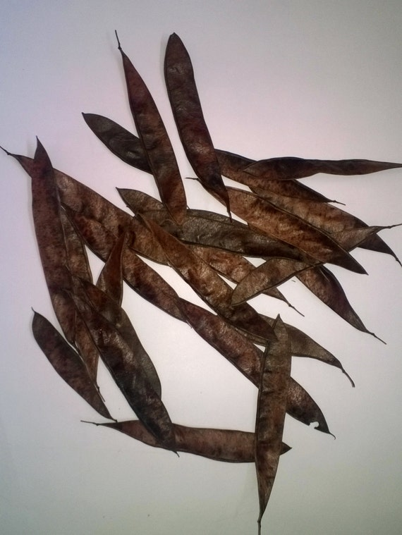 All Natural Whole Eastern Redbud Tree Seed Pods Dried Seed Etsy