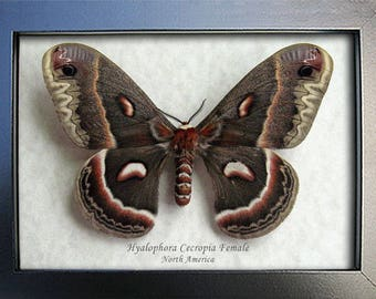 Hyalophora cecropia sexual reproduction