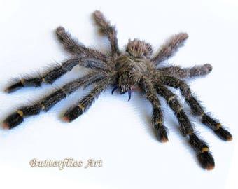Entomologie Insecte Cadeau Porte clef avec araignée Gasteracantha dans résine!!