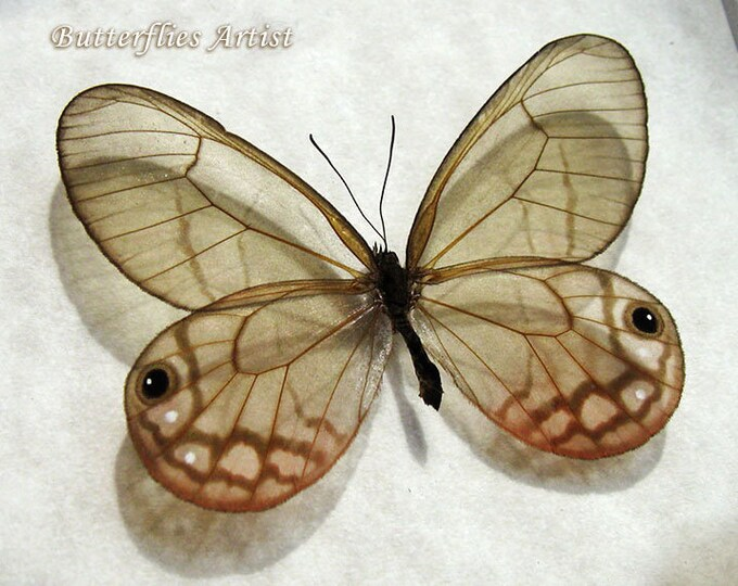 Cithaerias Aurorina Female Pink Glasswing Butterfly Entomology Collectible In Display
