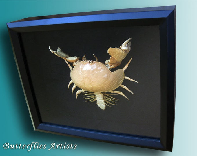 Real Box Crab Shame Faced Taxidermy Museum Quality Framed In Display