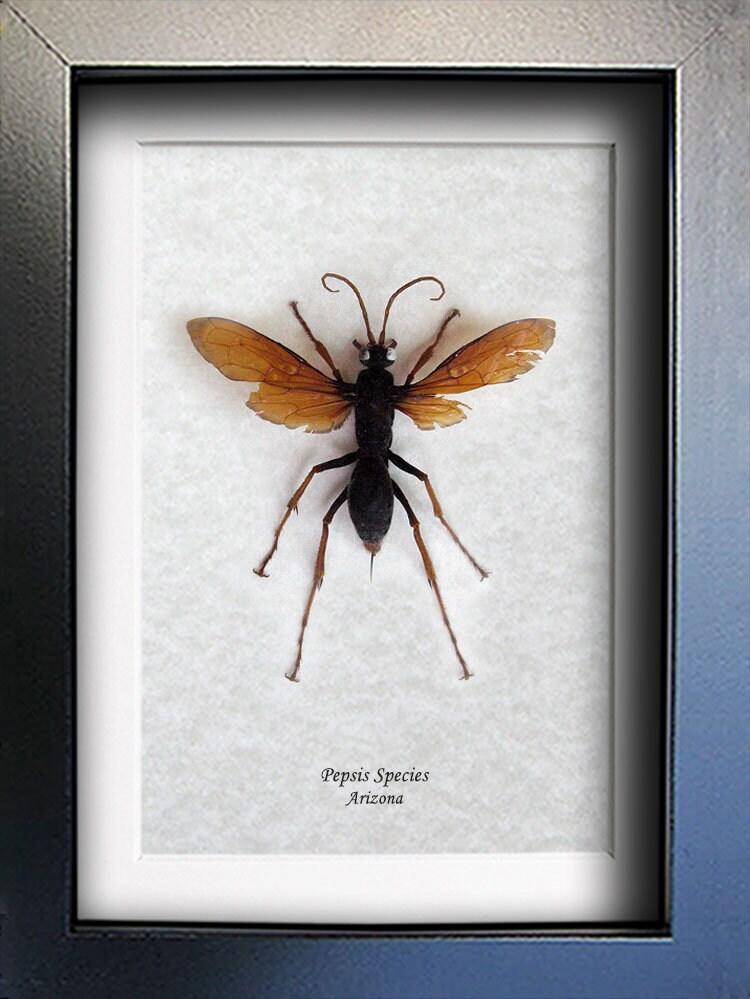 Arizona Tarantula Wasp Gold Wings Stinger Hawk Entomology ...