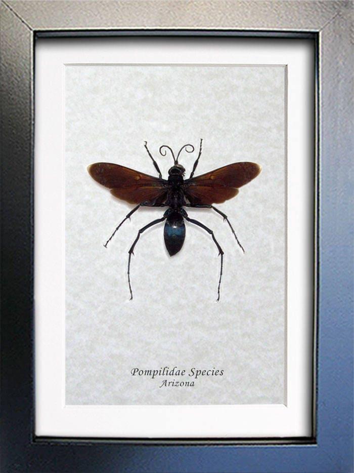 Real Wasp Black Form Giant Arizona Tarantula Hawk Entomology ...