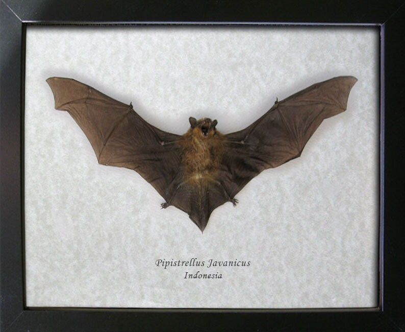 Pipistrellus Javanicus Real Taxidermy Bat Museum Quality Framed In ...
