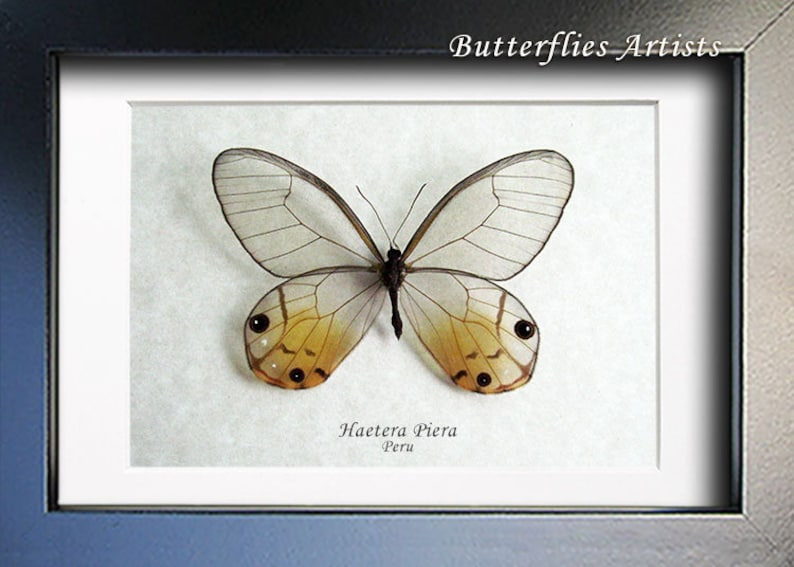 Amber Phantom Haetera Piera Real Butterfly Entomology Collectible In Shadowbox