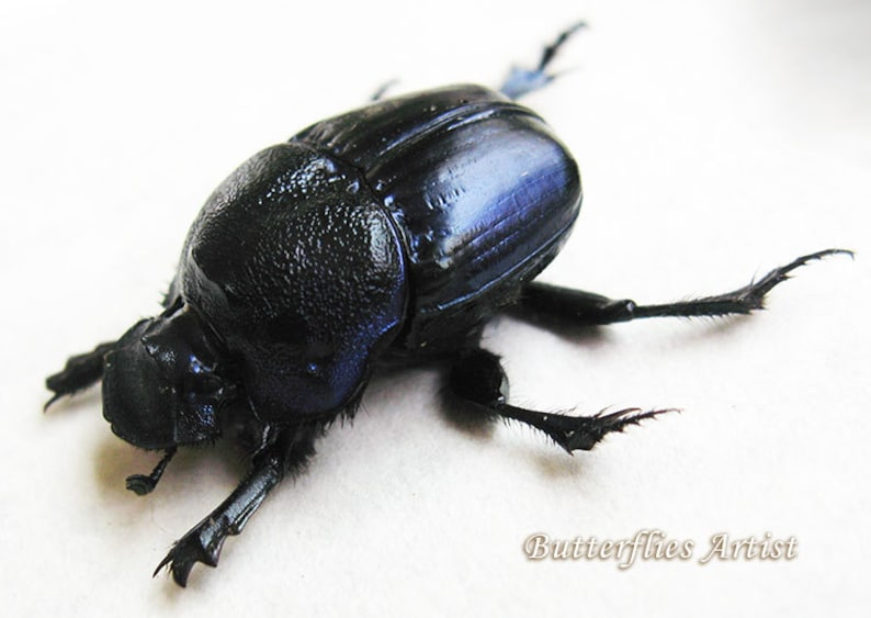 Metallic Purple Scarabs Beetles Phanaeus Quadridens Pair Entomology Collectible In Shadowbox