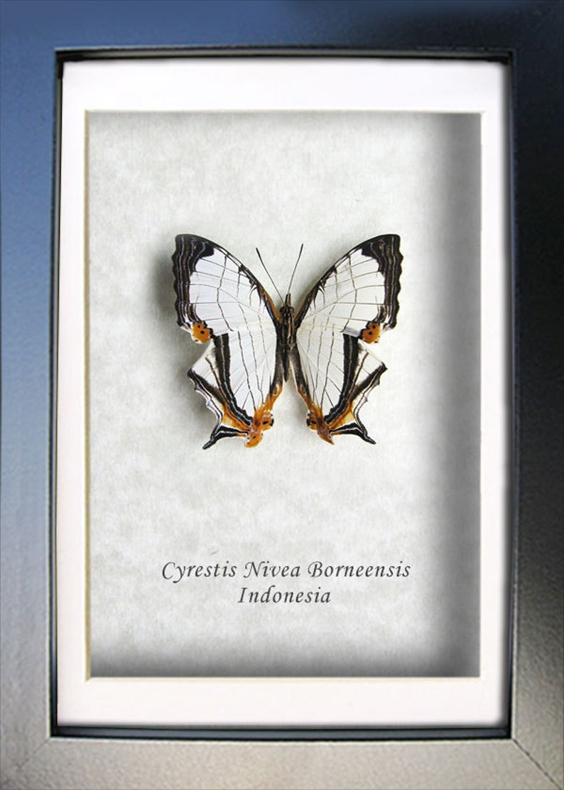 Map Wing Cyrestis Nivea Real Butterfly Entomology Collectible Framed In Shadowbox