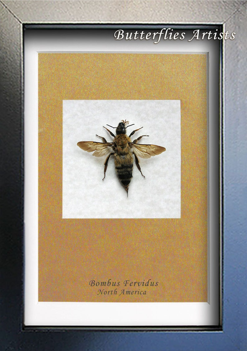 Stripped Bumble Bee Real Bombus Fervidus Entomology Collectible Framed In Shadowbox