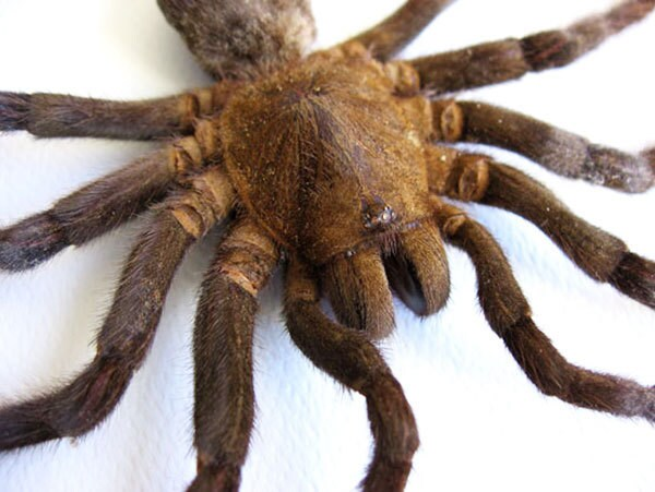 eurypeima spinicrus tarantula biggest spider real entomology