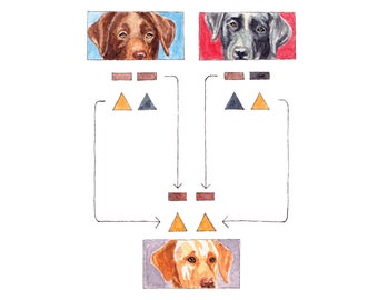 Golden Labrador Recessive Epistasis Watercolor print   5 X 5