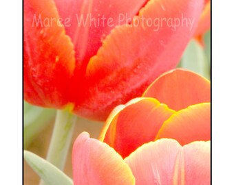 Pastel Tulips, Macro photography, Vertical print, Fine Art, Ready to frame, nature photograph, wall print, Reds, Colourful, Autumn, Fall
