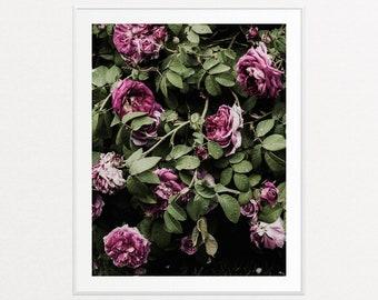 Roses, Floral Prints, Floral Wall Art, Botanical Art, Botanical Wall Art, Violet Purple Roses Photograph