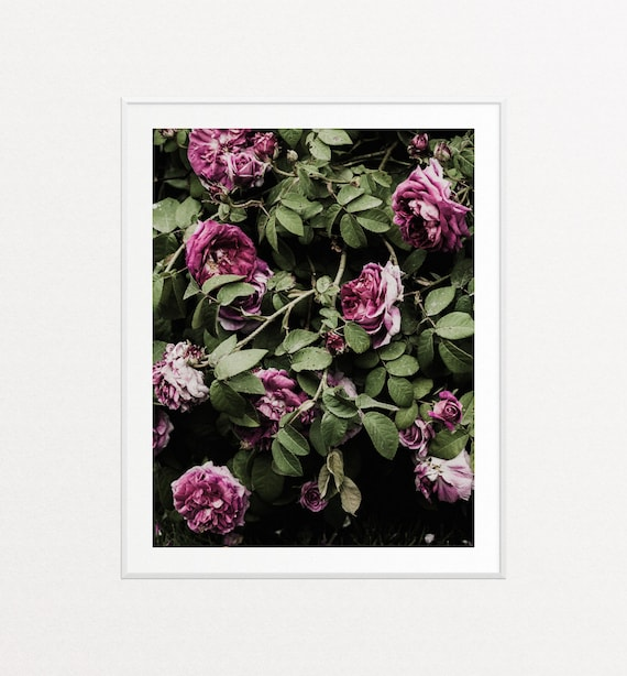 Roses, Floral Prints, Floral Wall Art, Botanical Art, Botanical Wall Art, Violet Purple Roses Photograph