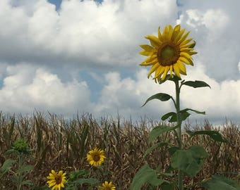 "Sunflowers - (11"" x 14"") Photograph - FREE SHIPPING!"