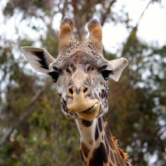 Месяцев, картинки прикольный жираф