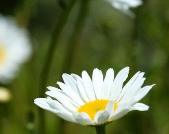 Daisy Photo - Botanical Print - White Daisies -  Summer Garden Art Flower Photograph Nature Photography Gift for Gardener Fine Art fPOE